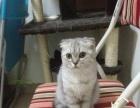 巧巧家的猫-猫舍换血 渐层折耳妹妹五个月