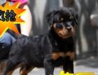 纯种德系罗威纳一猛犬看家带户口一质量保证-签协议