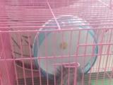 卖魔王松鼠八个月大(母鼠)