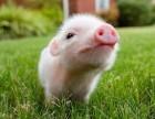 雏牧香生态猪肉销售 雏鹰生态猪肉加盟