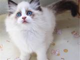湖南长沙纯血布偶幼猫一只价钱