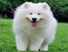 双眼皮品相好.双血统澳版萨摩耶幼犬.超级萌物