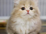 上海徐汇纯种双血统矮脚猫放心购买