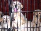 中山哪里有卖纯种拉布拉多犬 中山哪里有狗舍