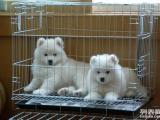 宁波哪里有萨摩耶犬出售 萨摩价格是好多 萨摩耶图片