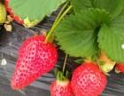 焦作 魏村 草莓采摘园 马村草莓采摘 现货 位村矿附近