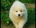 东莞健康萨摩耶多少钱一只 购犬签协议 品质保障