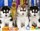 广州哪里买哈士奇犬 cku赛级西伯利亚哈士奇 签健康售后协议