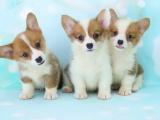 苏州本地出售 完美品相 签协议纯种健康 柯基犬