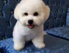 中国专业繁殖双血统比熊犬犬舍 可以上门挑选