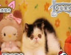 超可爱包子脸绿眼波斯猫宝贝 多窝选择 有保证