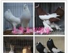 泉州观赏鸽元宝鸽肉鸽养殖场
