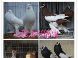 自家大院养的公斤鸽观赏鸽肉鸽