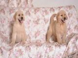 義烏里有賣金毛的 金毛幼犬大概錢