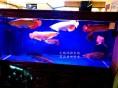 无锡观赏鱼市场发财鱼金龙鱼银龙鱼