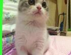 聪明伶俐的折耳猫宝宝找新家啦