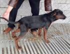 莱州红犬多少钱一只,怎么驯养莱州红幼犬,成年莱州红借配出售