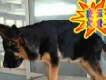 优选犬舍   送货上门—专业繁殖纯德国牧羊犬—签售后协议可见父母
