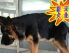 优选犬舍   送货上门专业繁殖纯德国牧羊犬签售后协议可见父母