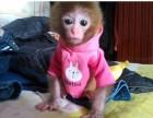 江苏省徐州市哪里有卖袖珍石猴宠物猴