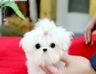 马尔济斯幼犬是超小型,小狗雪白的,很听话