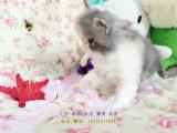 家養英短藍貓藍白加菲貓金吉拉三對夫妻的愛情小寶貝