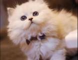 上海广州深圳北京美短猫多少钱一 淘宝搜:双飞猫