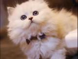 一只豹猫多少钱 店铺搜:双飞猫