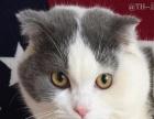 10月大折耳梵色公猫 疫苗驱虫已做