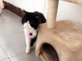 可爱加菲猫 正开八字脸