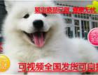 七夕送好礼微笑天使萨摩耶幼犬雪白无水锈骨骼粗毛量足