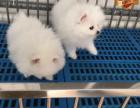 专业繁殖博美犬养殖基地 可以来犬舍里挑选
