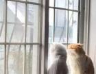 加菲猫 波斯猫 金吉拉猫妹妹找新家
