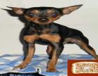 小鹿犬和吉娃娃的区别 小鹿犬成年多少斤 小鹿犬好养吗