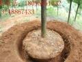 挖树机租赁3分钟挖一棵树厂家直销挖树队专用厂家直销
