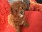 出售一只棕色泰迪狗