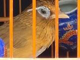 精品画眉鸟出售可以快递克数大