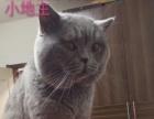 幽幽猫·纯猫舍多只优质英短种公对外借配