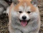 大长腿 犬类气质最高贵的秋田犬 贵族品味