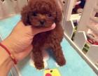广州实体狗场直销纯种泰迪犬 价格实惠 签协议可送货