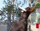 真实图片、犬舍实拍纯种杜宾犬、品质保障、可挑