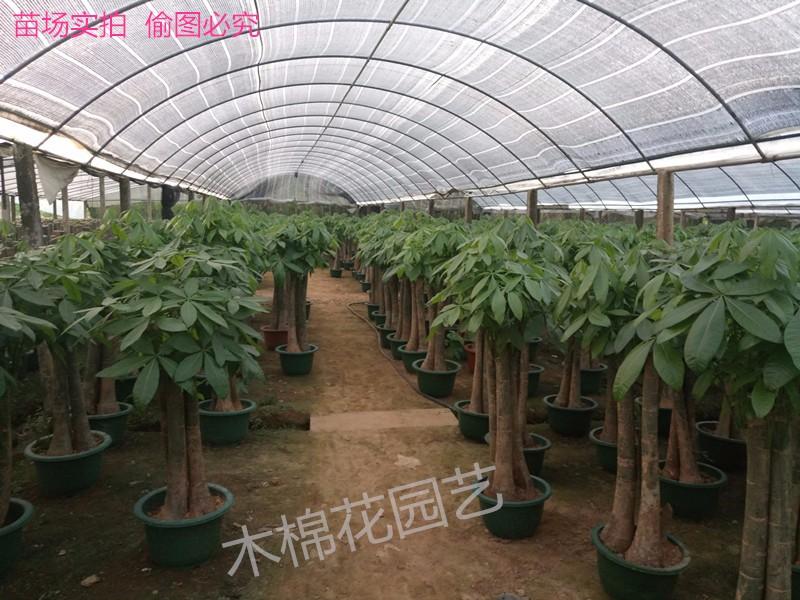 南宁植物租摆 花卉绿植销售 盆栽批发 免费配送绿化