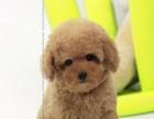 2个月的泰迪熊1600元(公母均有)价格可以商议