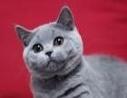 英国短毛猫 纯种英短蓝猫折耳猫幼猫活体英短折耳蓝猫英国短毛猫