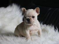 犬舍繁殖极品法国斗牛犬多只法斗在售疫苗齐全包售后