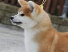 秋田犬 我们更专业 欢迎挑选来基地挑选