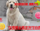 店主推荐专业繁殖包纯种保健顶级繁殖基地出售纯种拉布拉多幼犬
