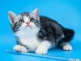 美短猫纯种短毛猫美短加白起司猫虎斑短腿猫