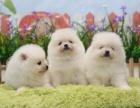 成都本地出售 上门低价 博美幼犬 疫苗齐全一可看狗