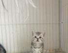 山西太原萌猫生活馆--新一窝小美短出窝找新家